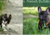 Boston Terrier vs. French Bulldog