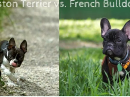 Boston Terrier vs. French Bulldog